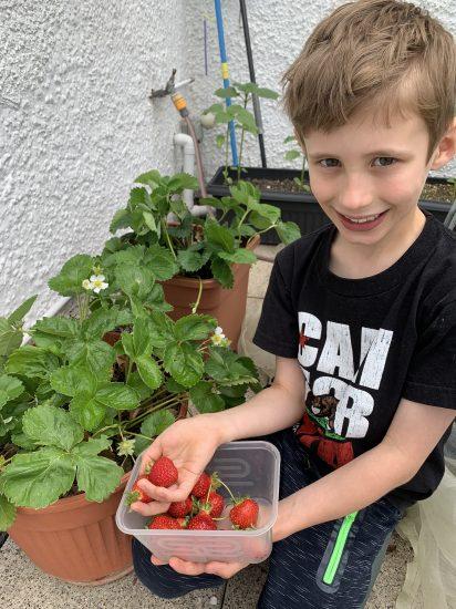 Strawberry Harvest